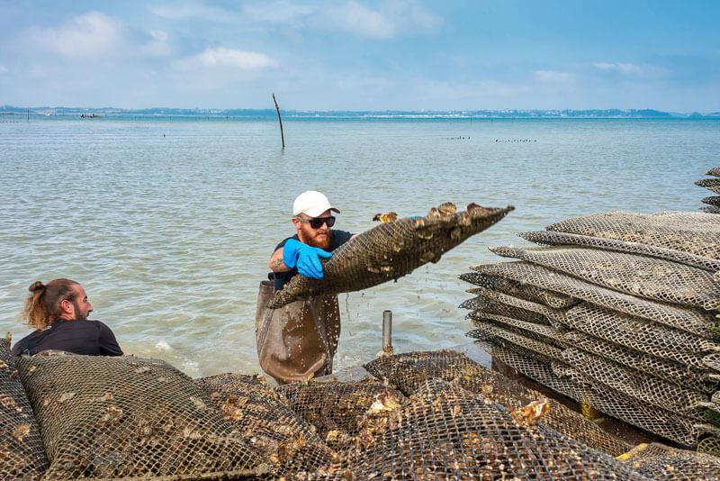 Conditionnement en bourriche des huîtres de Cancale